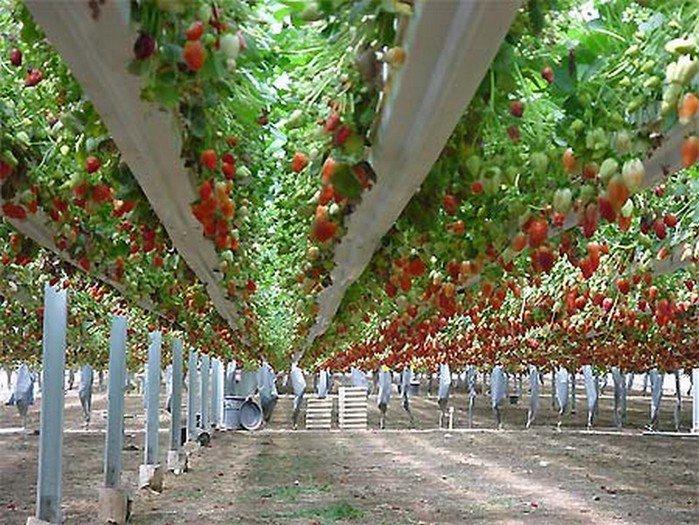 В тепличном овощеводстве – потенциал для развития АПК