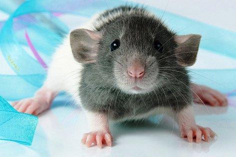 Казань ждет нашествие крыс