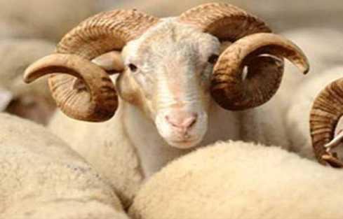Спрос на жертвенных животных на Курбан-байрам фермеры Татарстана покрыть не могут