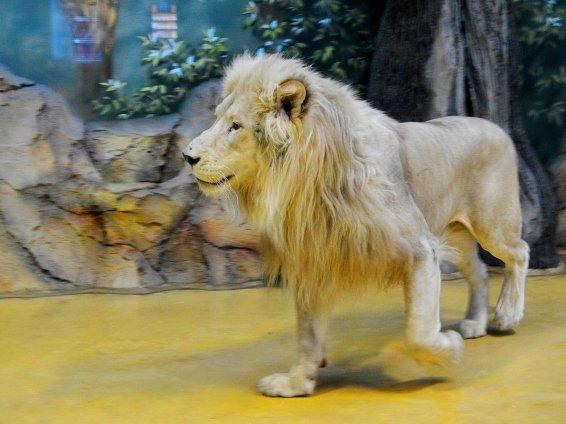 В «Реке Замбези» поселились белые львы