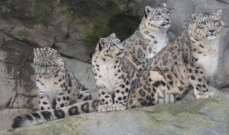 Центр по изучению редких видов кошек в РТ выведет чистый геном барса