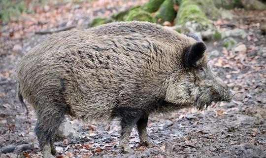 В частных охотхозяйствах РТ начали скрещивать кабанов с домашними свиньями